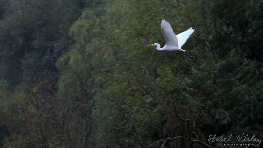 Egreta Mare peste Dunarea Veche intr-o fotografie cu teleobiectivul