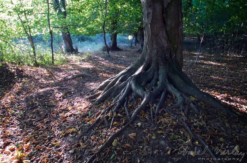Un copac cu radacinile pe afara imi aduce aminte de padurile fantastice din Harry Potter.