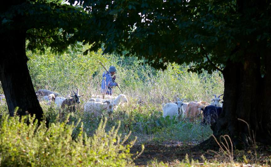 Ciobanas cu 300 de oi as zice daca nu ar fi capre.