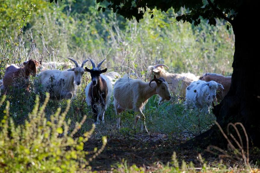 Intalnire de gradul trei: caprele intalnesc fotografii.