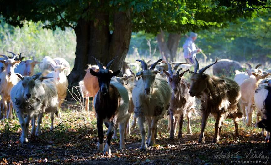 Sedinta foto cu mandrele capre ce stau cochete la pozat!