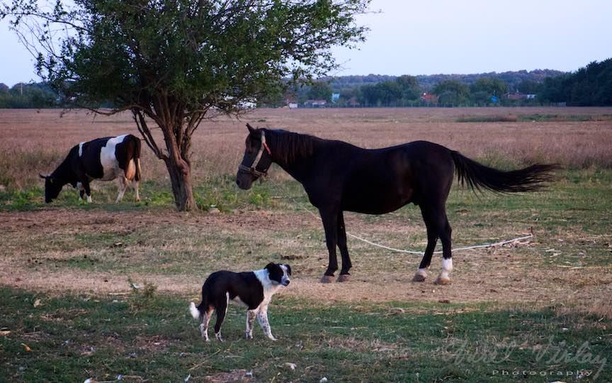 Trei damazari: calul, vaca si cainele.