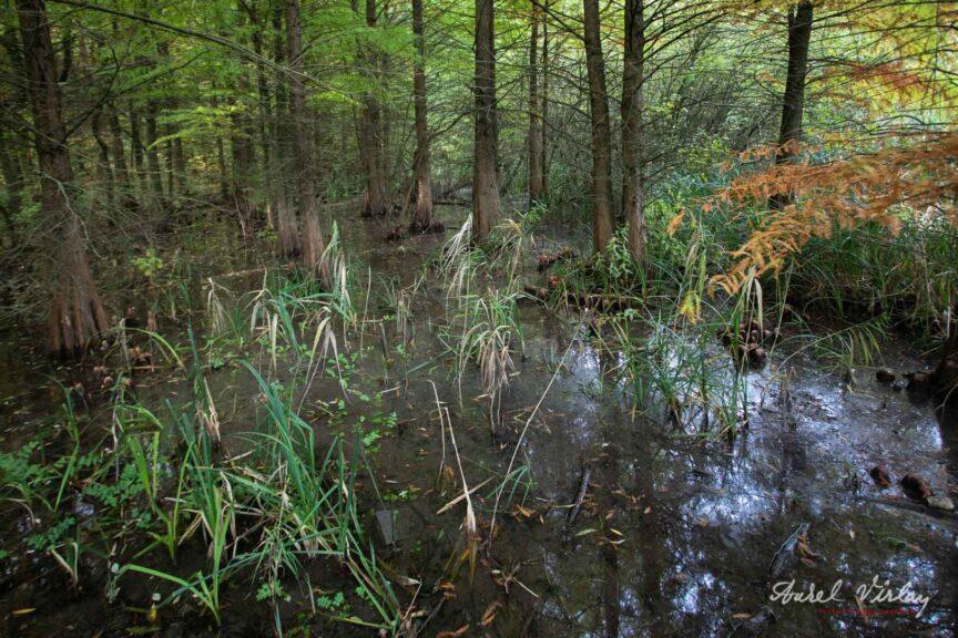 Mlastina baltii Comana. Copaci ce par a rasari din apa!