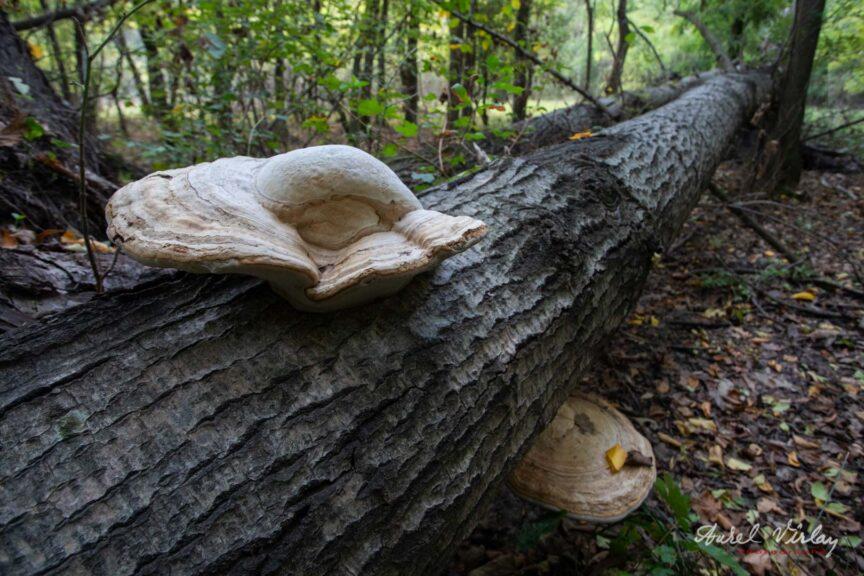 Ciuperci crescute pe copacii cazuti.