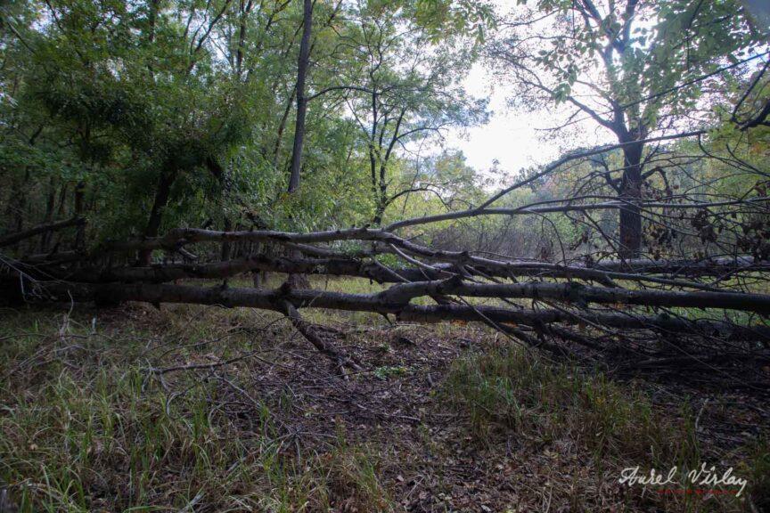Copaci imensi ce doboara alti copaci in cadere. Salbatica Padure Comana!