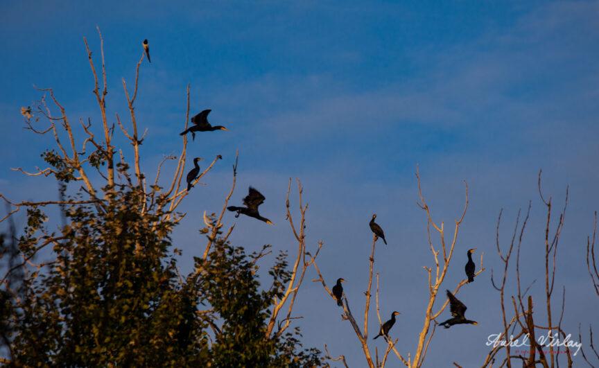 Stol de cormorani luandu-si zborul deasupra Baltii Comana.