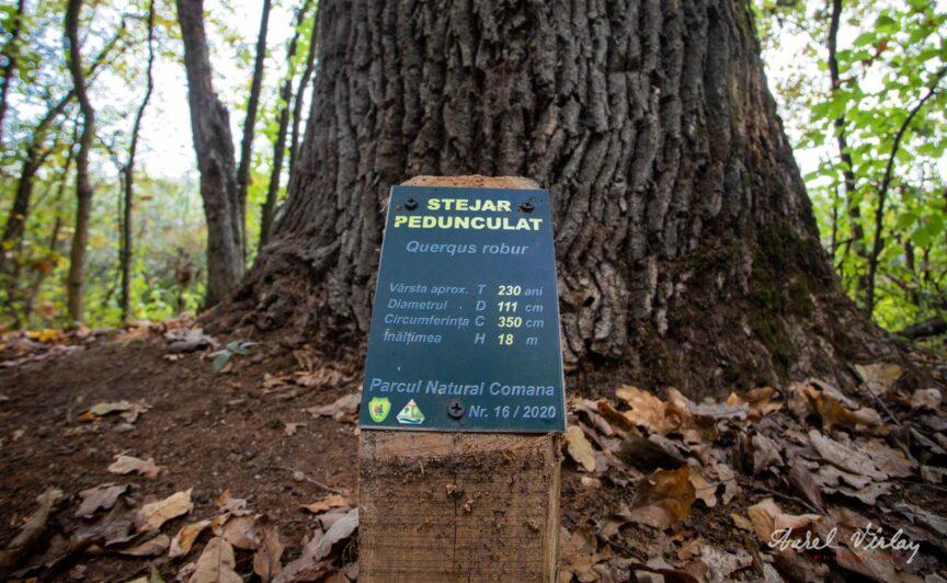 Stejar Pedunculat de 230 ani din padurea Comana. Guerqus robur..