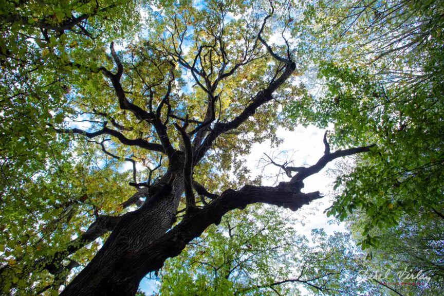 Cel mai impunator arbore din Romania: Stejarul, Guerqus robur denumire stiintifica.