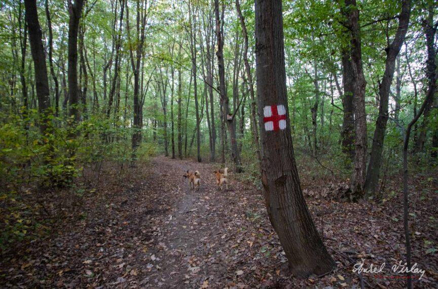 Marcaj cruce rosie pe poteca din padure.